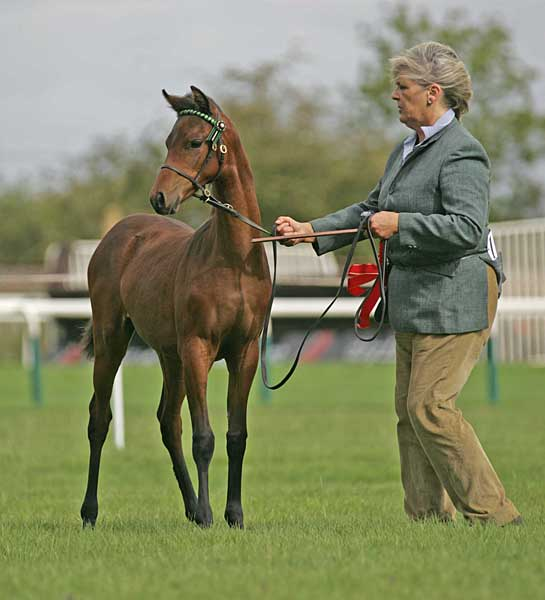 Pickmere Nashira, by Pickmere Sirocco - Supreme Champion Foal at the 2011 Northern Counties Pony of the Year Show
